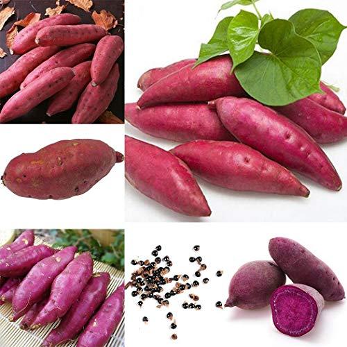 Tomasa Samenhaus- 50pcs Süßkartoffel Samen Garten köstliche frische Gemüse Samen,Süßkartoffel Ipomoea batatas Purple winterhart mehrjährig Gemüse
