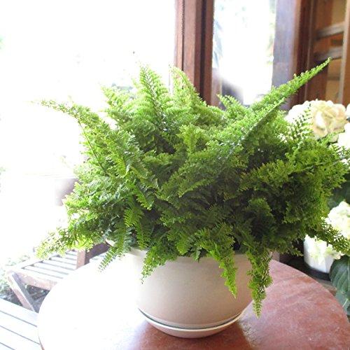 ネフロレピス スコッチモス 6号吊り鉢 鉢植え スコッティ 西洋タマシダ シダ植物
