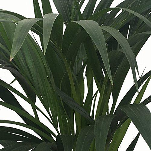 Kentia - Palmera de interior - Maceta 22cm. - Altura total aprox.1,40m....