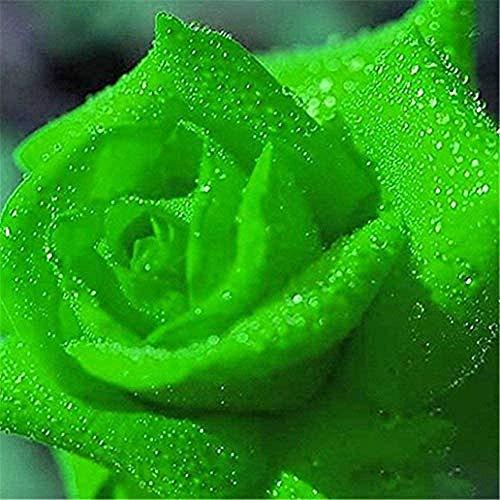 50 Pezzi Semi Di Fiori Di Rosa Verde Pianta Rara Semi Di Colore Solido Perenne Per Giardino Domestico Fai Da Te Piantare In Cortile Balcone Fiori Accattivanti Paesaggio Di Giardinaggio Unico