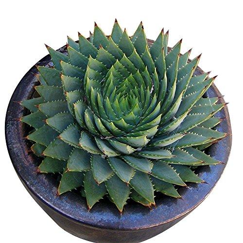 Rosepoem 100 pz / borsa Rare Aloe Seme Ufficio Pianta Succulente Piantare