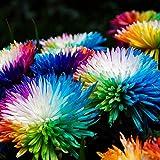 puran 100 Stück/Beutel Regenbogen-Chrysanthemensamen Zum Pflanzen, DIY Hohe Keimrate Mehrfarbige Winterharte Mehrjährige Blumensamen Für Zu Hause Regenbogen-Chrysanthemensamen
