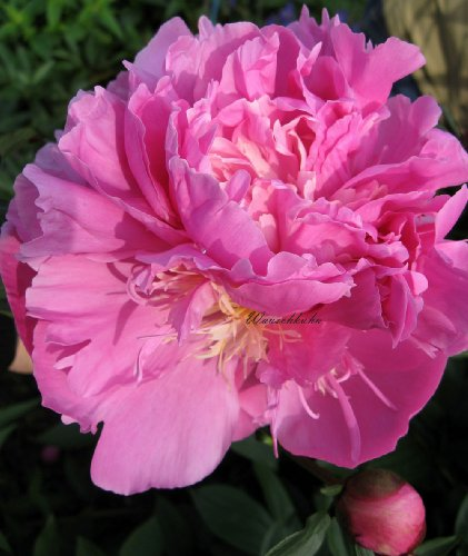 Staudenkulturen Wauschkuhn Paeonia lactiflora 'Rose Glory' - Pfingstrose - Staude im 11cm Topf