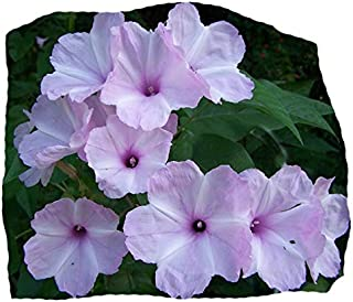 Best morning glory tree Reviews