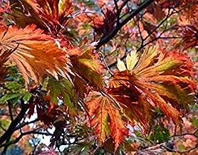 Acer japonicum aconitifolium - Cut-leaved Japanese Maple - 10 Seeds