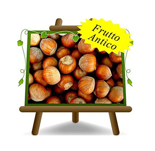 noisetier arbre noisettes saint Jean plante fruitière sur un pot de 26 max 160 cm - 4 ans