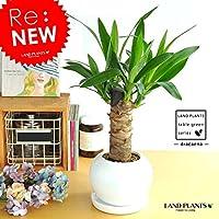 LAND PLANTS 青年の樹 ドラセナ・ユッカ 白色丸型陶器