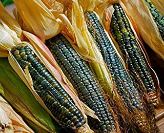 Organic Oaxacan Green Corn Seed - Heirloom Zapotec Dent Maize Seeds 0,5 oz