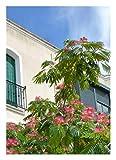 """TROPICA - Acacia di Costantinopoli/Rosa (Albizzia julibrissin """"Rosea"""" var. Ernest Wilson) - 50 Semi- Resistente al freddo"""