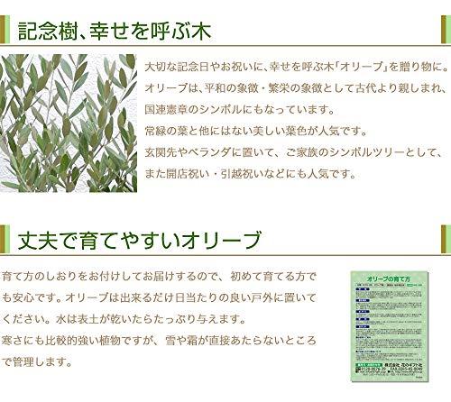 花のギフト社観葉植物オリーブの木素焼鉢植え4号インテリアグリーン(品種:おまかせ)