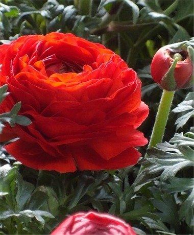 12 Ranunculus Bulbs RED- Peony Like Heads-Perennial Spring Bulbs