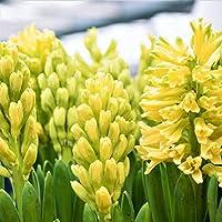ヒヤシンス球根 - 非常に美しいヒヤシンスの球根、自家製、香りがいっぱい,Yellow,3球根