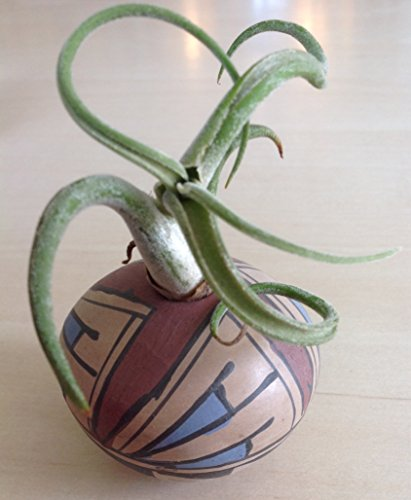 Rare, Vintage hand crafted Mata Ortiz mexican seed pot with air plant.