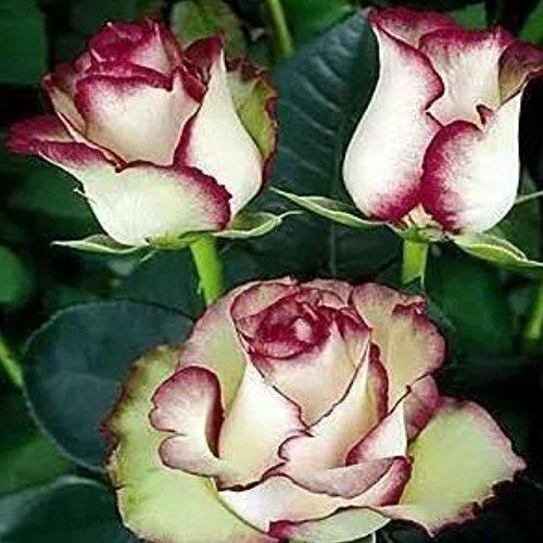 150PCS Rose Flower Seed Hollande Rose Graines amant cadeau arc-RARE 25 exotiques couleurs au choix de bricolage pour les plantes de jardin à domicile 16