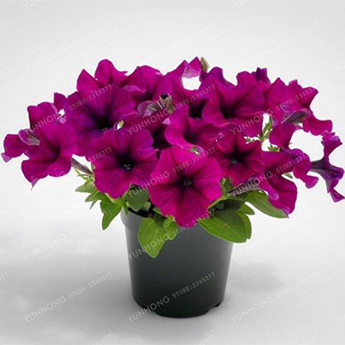 Escalade Pétunia Graines de fleurs Jardin Bonsai Balcon Petunia hybrida semences de fleurs de 20 espèces Bonsai plante facile à cultiver 100 Pcs 7