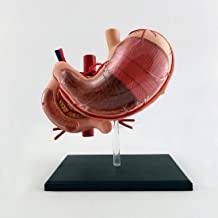 Stomach Dissection Model, Magnified Anatomical Model, Used for Scientific Classroom Learning to Show Teaching Medical Mode...