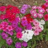 Annual Phlox Mix Seeds Red Violet White Pink...