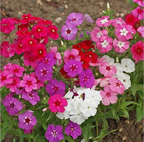 Annual Phlox Mix Seeds Red Violet White Pink Flowers bin209 (250 Seeds, or 1/2 Gram)