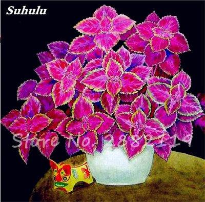 Bonsai coleus Graines Variées Plantes à feuillage couleur parfaite Arc- Belle fleur plante Illuminez votre jardin personnel 120 Pcs 10