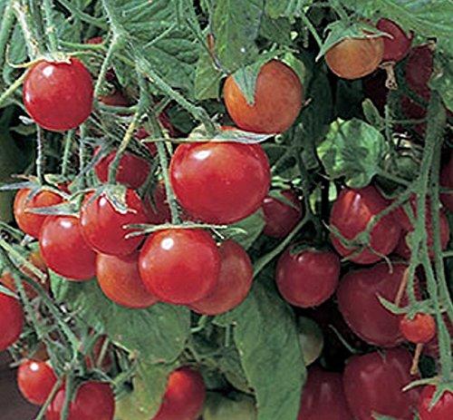Tomaten Hängetomaten Tumblin Tom Red Samen