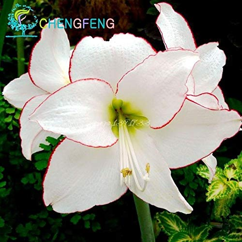 Green Seeds Co. 50 Pcs/Sac Plantes En Pot Lily plantes rares Plantes D'Intérieur Bonsaï Diy plante Semillas Mixed Colors emballage 2016: Blanc