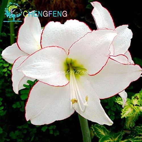 Green Seeds Co. 50 Pcs/Sac Plantes En Pot Lily plantes rares Plantes D'Intérieur Bonsaï Diy plante Semillas Mixed Colors emballage 2016: Blanc