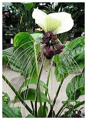Foto di Tropica - fiori pipistrello nepalesi (Tacca nevia white) - 10 semi