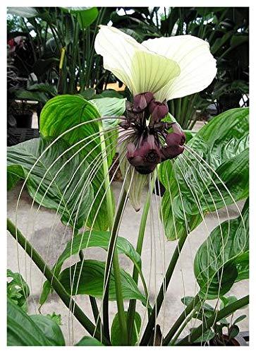 TROPICA - Tacca chantrieri géante du Népal (Tacca nevia white) - 10 graines- Magie tropicale