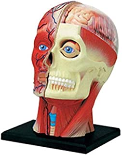 Educational Model Human Head Anatomy Model,Structural Drawing Anatomy Anatomical Model of Human Head Muscles