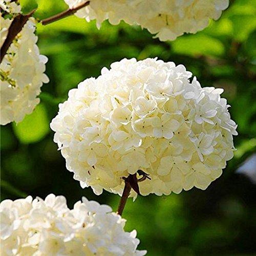 10pcs/Bolso rojo Hydrangea semillas mezcladas Hydrangea hortensia semillas de porcelana de Bonsai Viburnum planta en maceta para el hogar y el jardín 3