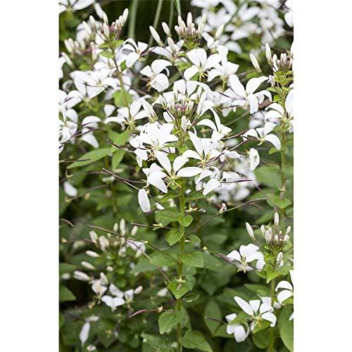 Cleome spinosa Señorita Blanca - Spinnenblume weiss - im Topf 13 cm, in Gärtnerqualität von Blumen Eber - 13 cm