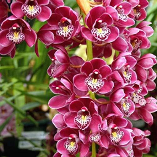 TOYHEART 50 Stück Premium Blumensamen, Phalaenopsis Samen Orchideen Landschaftsbau Ornamente Gemischte Farben Blumenpflanzensämlinge Für Den Garten Weiß
