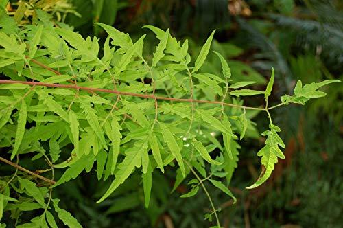 Essigbaum Rhus typhina 'Tiger Eyes' Pflanze 15-20cm Hirschkolbensumach Rarität