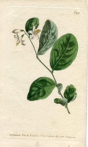Styrax Laevigatum - Smooth Storax. Altkolorierter Kupferstich (Aus: Curtis' Botanical Magazine, No. 921).
