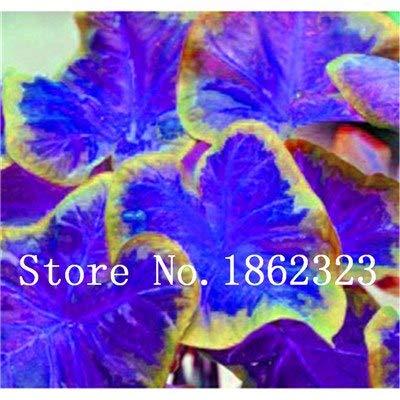GEOPONICS SEEDS: Verkauf! 100 Stück Caladium Bonsai Caladium Blumen Bonsai Zimmerpflanzen Bonsai Colocasia Anlage für Hausgarten-Topfpflanze: 18