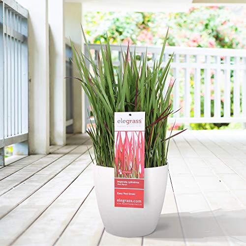 Imperata cylindrica'Red Baron' | Rotes...