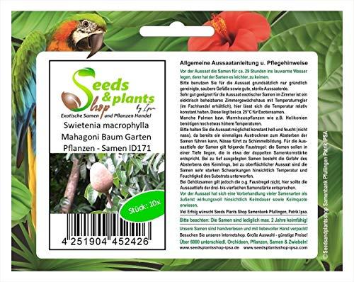 Stk - 10x Swietenia macrophylla Mahagoni Baum Garten Pflanzen - Samen ID171 - Seeds Plants Shop Samenbank Pfullingen Patrik Ipsa