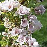 Prunus Serrulata 'Amanogawa' - Japanse sierkers 60-80 cm pot