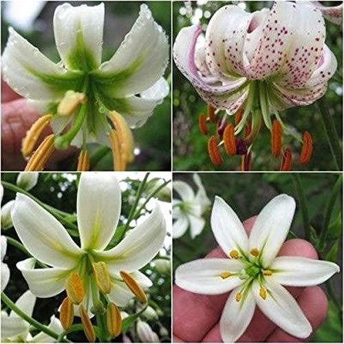 Portal Cool 20 Samen der verschiedenen weißen Martagon Hybrids Lilium