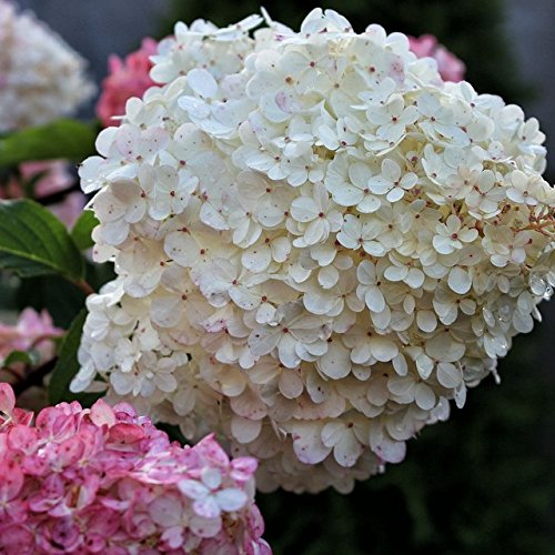 Müllers Grüner Garten Shop Rispenhortensie Limelight ® Hydrangea paniculata limettengrüner Austrieb ca 40-60 cm 3-5 Liter Topf
