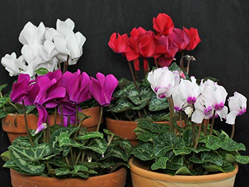 6X Hardy Mini Cyclamen Autumn Bedding Plants. Sold in Bud or Flower. Garden Ready