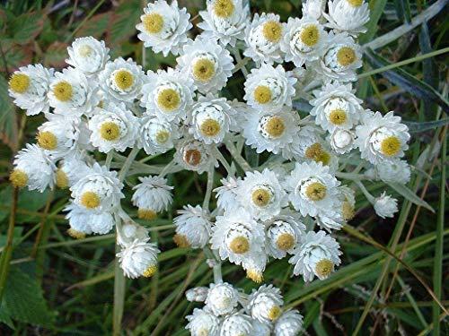300 Seeds of Anaphalis margaritacea, Pearly Everlasting