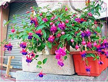 Vista 17: 100 pcs/sac graines fuchsia, fleur fuchsia, bonsaï Suspendre les graines de fleurs, plante en pot lanterne graines de bégonia pour la maison jardin 17