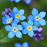 UtopiaSeeds Forget Me Not Seeds - Approximately...