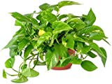 AMERICAN PLANT EXCHANGE Golden Pothos Easy Care Live Plant, 6' Pot, Top Indoor Air Purifier