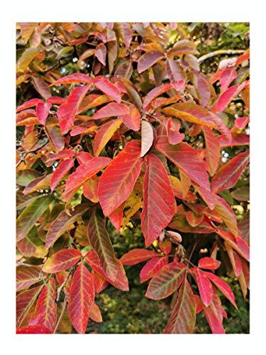 Acer maximowiczianum or nikoense Nikko Maple Hardy, Patio, Bonsai - Rare Tree, 5-6cm Tall Starter Plant in a 7/8cm Pot