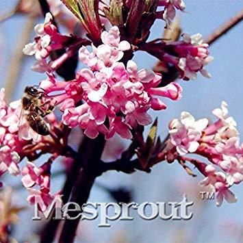 Fleur Rare Graines Balcon Potted Viburnum farreri Jardin Graines pour le bricolage SeedsAndPlants cadeau * japonais Mini Bulbes à fleurs semences 100PCS