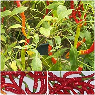red finger chili India Jwala- 50 Chilisamen - scharfes indisches Chili -