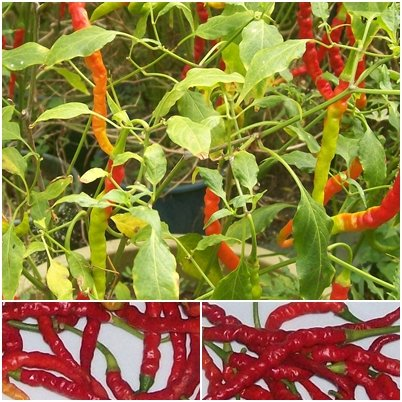 red finger chili (India Jwala)- 20 Chilisamen - scharfes indisches Chili -