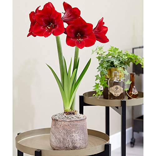 Hippeastrum 'Premiere' | Amaryllis mit roter Blüte | Ritterstern Blumenzwiebel Ø 26-28 cm